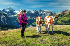 Hiker woman with young calfs in mountains, Grindelwald, Switzerland, Europe Stock Images