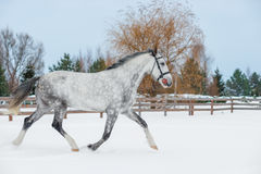 Sporty young gray horse jumping on snow. In winter Stock Photos