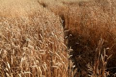 Sposób w pszenicznym polu Fotografia Royalty Free