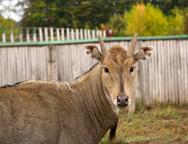 sposa dell'antilope Fotografia Stock