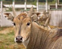 sposa dell'antilope Fotografie Stock Libere da Diritti