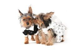 Sposa e sposo Yorkshire Terrier Puppies su bianco Immagine Stock