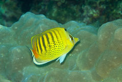 Spot banded Butterflyfish. Dotted Spot banded Butterflyfish (Chaetodon punctatofasciatus Royalty Free Stock Photos