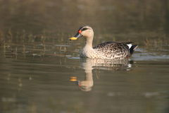 Spot-billed duck Stock Photography