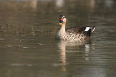 Spot-billed duck Stock Photo