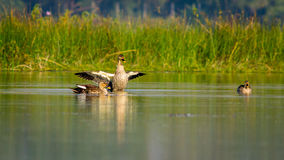 Spot-billed Duck (Anas poecilorhyncha), spotbill Royalty Free Stock Photography