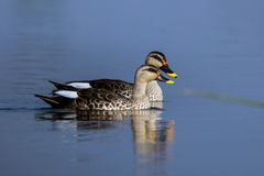 Spot billed duck Royalty Free Stock Photography