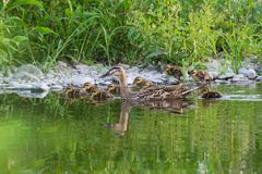 Spot-billed duck family in the river. Stock Image