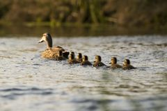 Spot-billed duck family in the river. Stock Photos