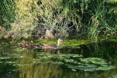 Spot-billed duck family in the river. Stock Photo