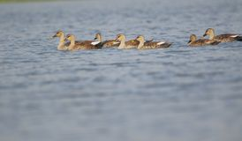 Spot billed duck family. Swimming in water of pond in one line. beautiful view of scene. this place at banswara, rajasthan India royalty free stock photography
