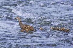 Spot billed duck family tries to cross the rapid river in spring. Stock Photography