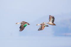 Spot-Billed duck in flight Stock Photos