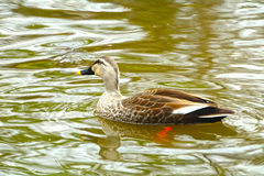 Spot-billed duck, Kamakura, Japan Royalty Free Stock Photos