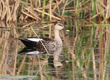 Spot billed duck Royalty Free Stock Photo