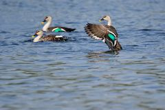Spot billed duck royalty free stock image