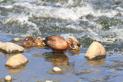 Spot-billed Duck Stock Photos