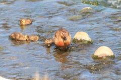 Spot-billed Duck Stock Photos