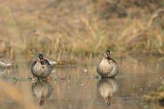 Spot-billed ducks Stock Image