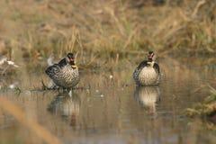 Spot-billed ducks Stock Photos