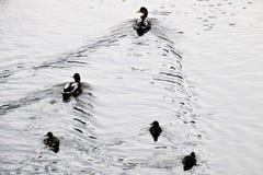 Spot-billed ducks royalty free stock photo