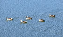 Spot-Billed Ducks at Randarda Lake, Rajkot, India. This is a photograph of spot-billed ducks swimming on surface of water of Randarda lake, Rajkot, India... They Royalty Free Stock Photos