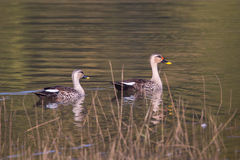 Spot-Billed ducks swimming Royalty Free Stock Photo
