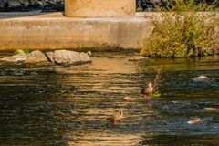Spot-billed ducks together in river. Three spot-billed ducks, one with its head under water together in a flowing river near a green bush and a bridge pylon Stock Photography