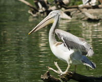 Spot-billed or grey pelican, Pelecanus philippensis, standing on snag in the pond, close-up portrait Stock Photos