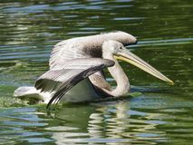 Spot-billed or grey pelican, Pelecanus philippensis, swimming in the pond with spreaded wings, close-up portrait Royalty Free Stock Photo