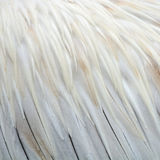 Spot-billed Pelecanus feathers Royalty Free Stock Image