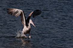 Spot Billed Pelican Stock Images
