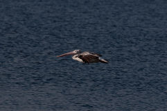 Spot Billed Pelican Royalty Free Stock Image