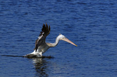 Spot Billed Pelican Stock Photo