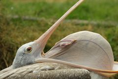 Spot-billed pelican Stock Photos