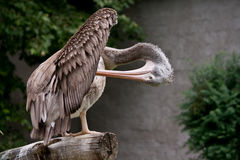 Spot-billed Pelican Royalty Free Stock Photos