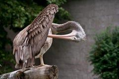 Spot-billed Pelican Royalty Free Stock Photos