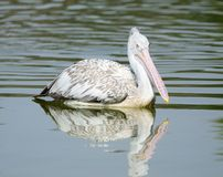 Spot-Billed Pelican Stock Images