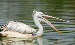 Spot-Billed Pelican Stock Photography
