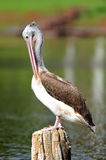 Spot-Billed Pelican Royalty Free Stock Photo