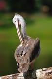 Spot-Billed Pelican Stock Photo