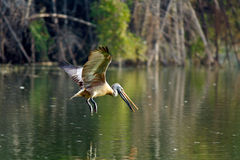 Spot Billed Pelican Stock Photography