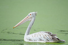 Spot-billed Pelican Stock Image