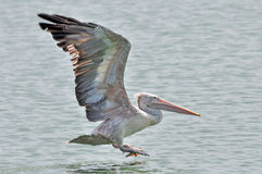 Spot-billed Pelican bird Stock Photography