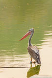The Spot-billed pelican bird is standing Royalty Free Stock Photo