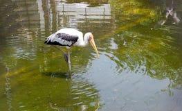Spot-billed Pelican bird on water. Close up Spot-billed Pelican bird on water for eat fish Stock Photography