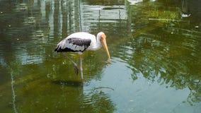 Spot-billed Pelican bird on water. Close up Spot-billed Pelican bird on water for eat fish Royalty Free Stock Photo