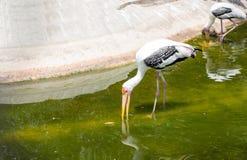 Spot-billed Pelican bird on water. Close up Spot-billed Pelican bird on water for eat fish Stock Image