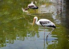 Spot-billed Pelican bird on water. Close up Spot-billed Pelican bird on water for eat fish Stock Photo