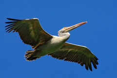 Spot-billed Pelican, elecanus philippensis, from Sri Lanka. Bird in fly with blue sky. White Pelican in flight with open wings. Ac Royalty Free Stock Photos